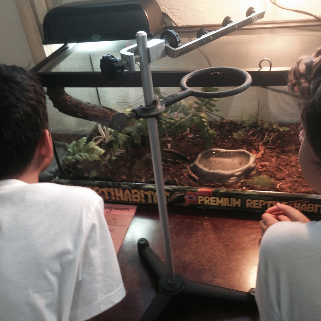 Our first live feeding!  Arrhyton exiguum preys on anoles, frogs, and lizards.